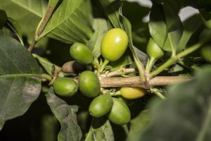 The Stockton Group Timorex Gold Biofungicide Approved for Coffee in Mexico