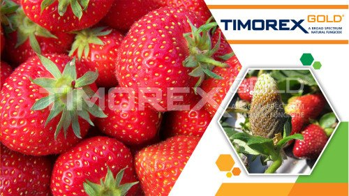 With debut of Timorex Gold®