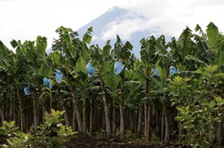 Organic fungicide to fight banana disease