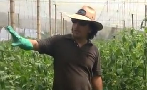 Timorex Gold nourishes and enhances tomato crops (Spanish)