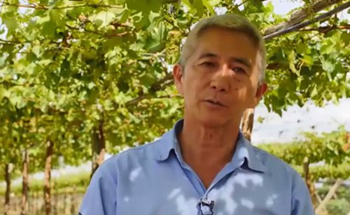 Timorex Gold – Healthy Vines, Great Wine (Portuguese)
