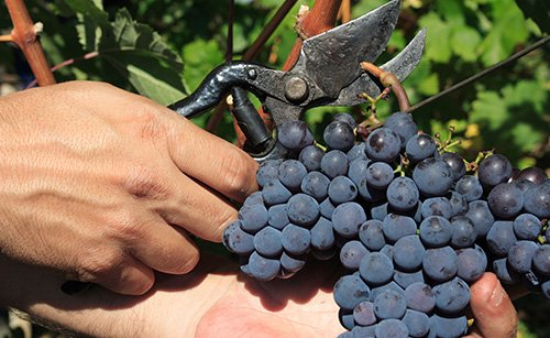 The emerging world of biopesticides in the vineyard