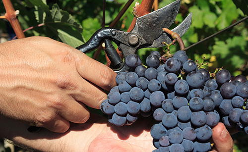 A new future for grapes has arrived, and their best ally is Timorex Gold