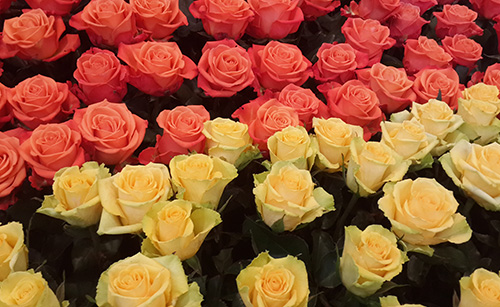 Timorex Gold controls botrytis and powdery mildew on roses