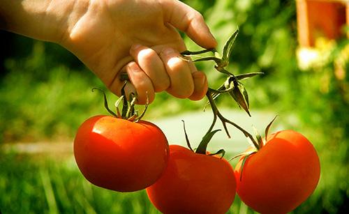 Um novo futuro para o tomate chegou, e o melhor aliado é Timorex Gold