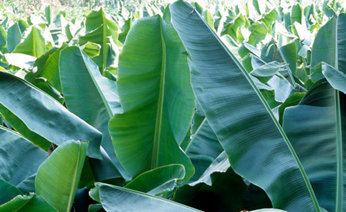 Banana farmers very satisfied with Timorex Gold