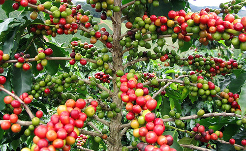 Timorex Gold – Sustainable Coffee, Improves Production Results