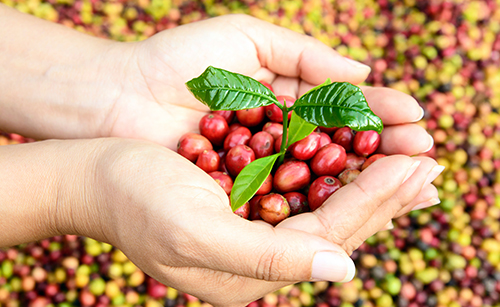 Timorex Gold control of diseases in coffee crops during pre- or post-flowering