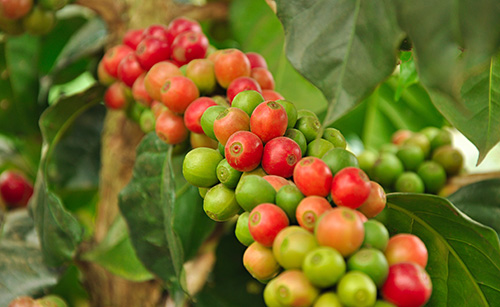 Timorex Gold controls the coffee berry borer (Spanish)
