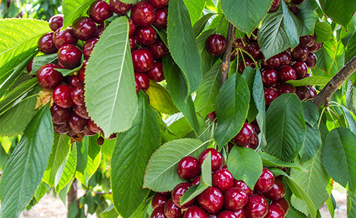 A powerful fungicide for disease control on Cherry Trees (Spanish)