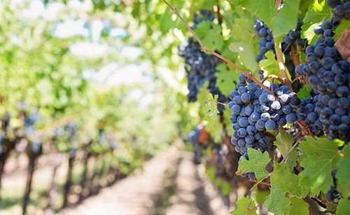 A powerful fungicide for disease control on Table Grapes