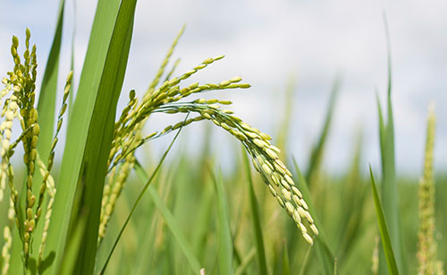 REGEV finally arrived to Peru – First hybrid fungicide on rice
