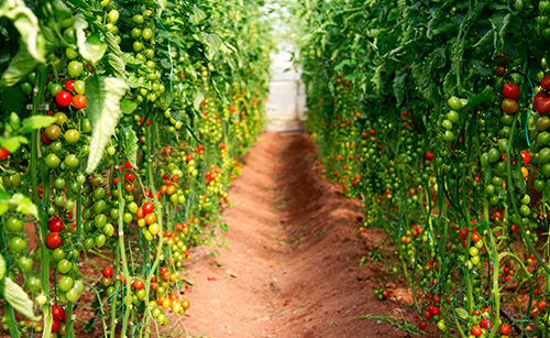 Timorex Gold controls a broad spectrum of pathogenic fungi and bacteria in Tomatoes