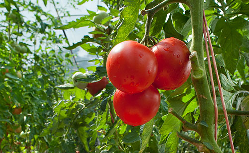 Healthy tomato harvest, better performance with Timorex Gold