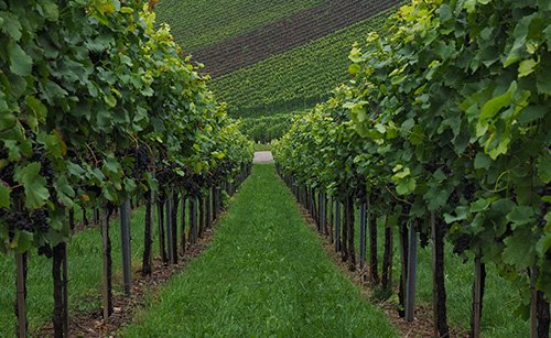 Timorex Gold – Healthy Vines, Controls Powdery Mildew