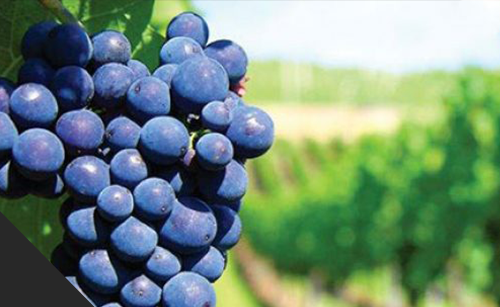 STK unveils new biopesticide for grape growers – American Vineyard