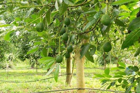 Effective solution for avocado disease found